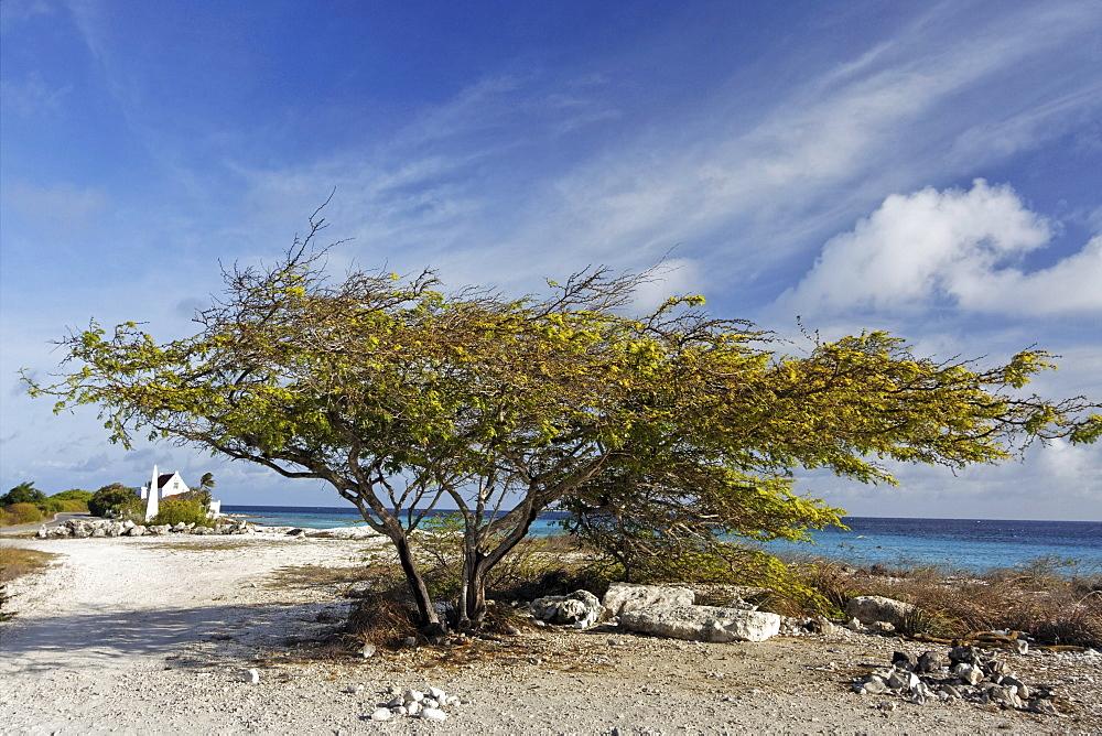 West Indies, Bonaire, Divi Divi Tree