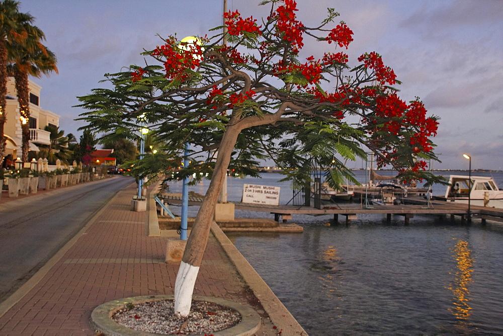 West Indies, Bonaire, Kralendijk, Promenade, flame tree