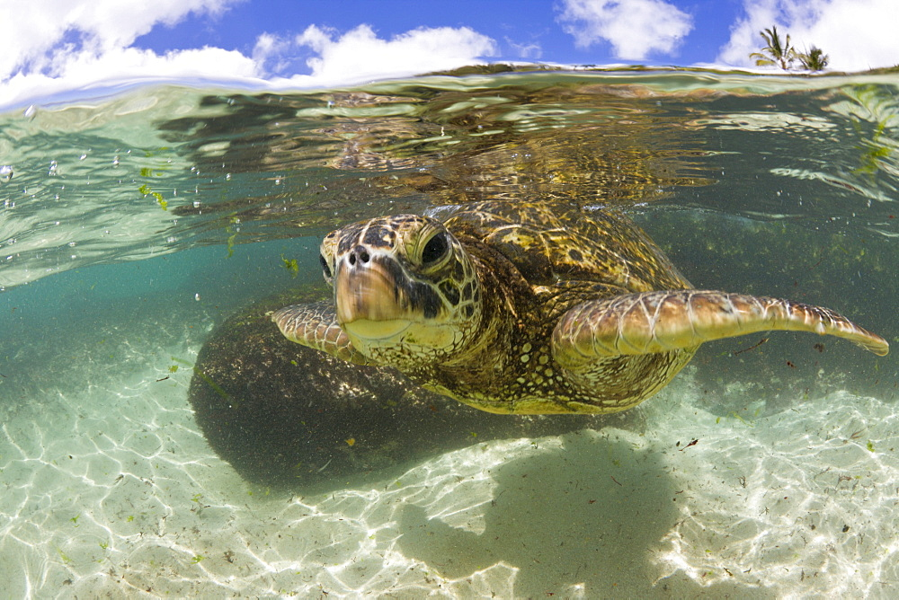 Green Turtle, Chelonia mydas, Oahu, Pacific Ocean, Hawaii, USA