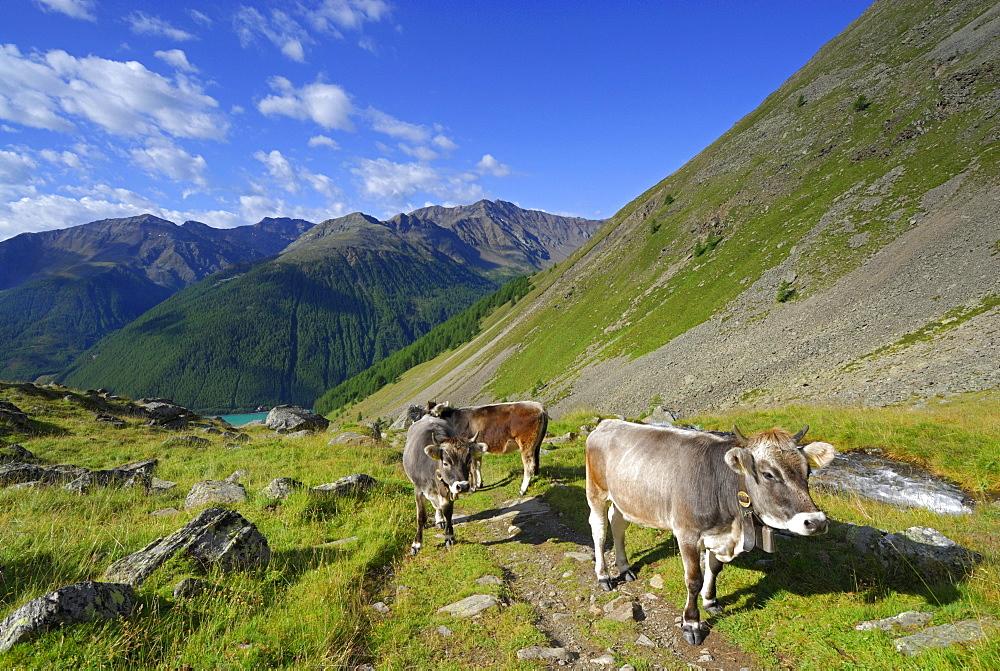 cows above reservoir Vernagtsee, Oetztal range, South Tyrol, Italy