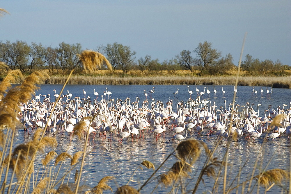 Greater Flamingo, Phoenicopterus ruber, Camargue, France