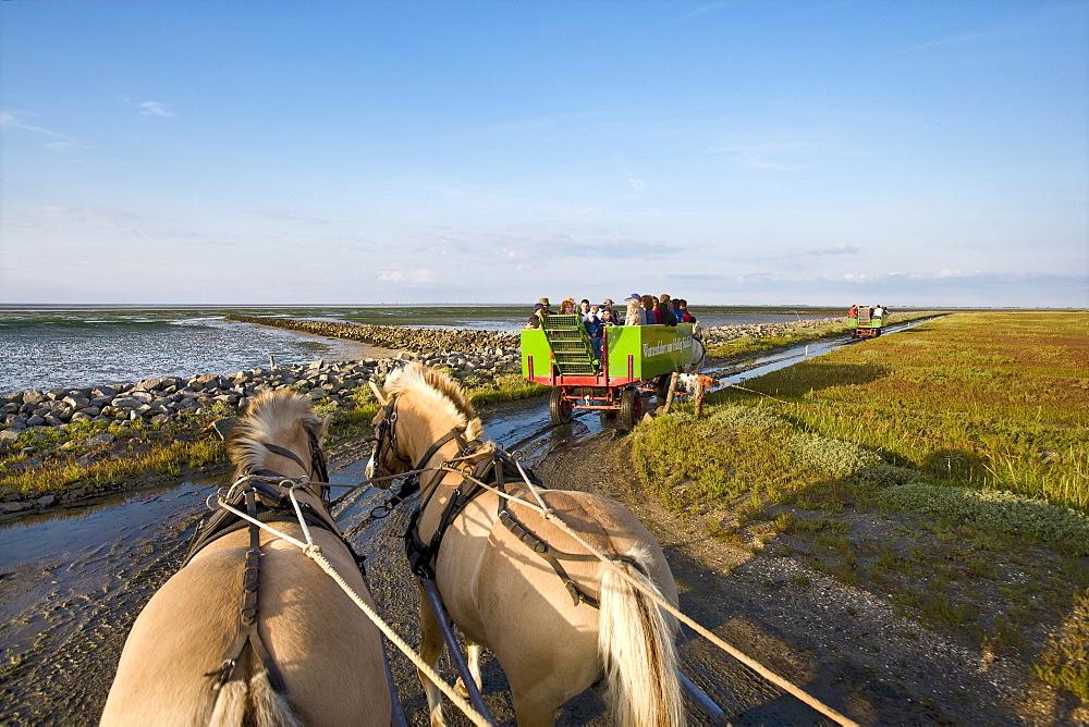 Horse-drawn carriage tour to Hallig Suedfall, Schleswig-Holstein, Germany