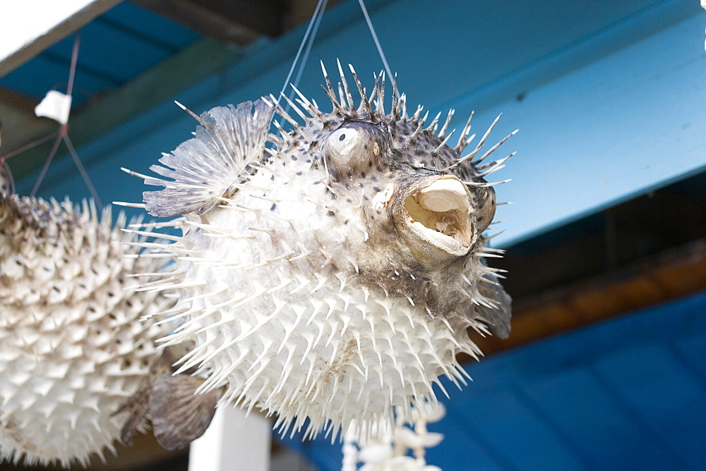 Pufferfish hanging in a souvenir shop at North Point, Barbados, Caribbean
