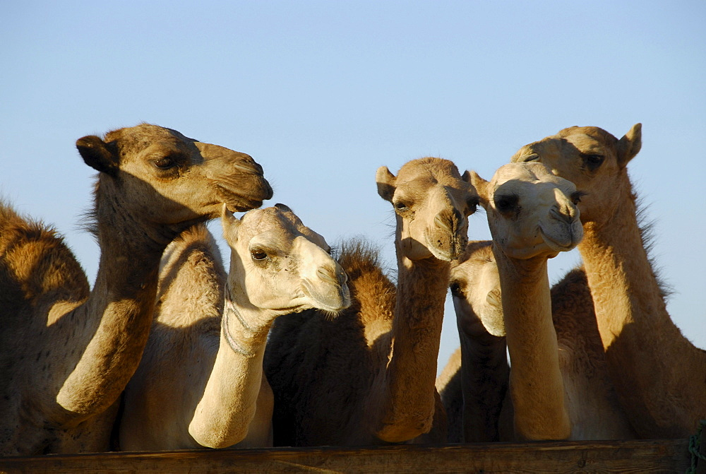 A group of camels in the sunlight, Al Ain, United Arab Emirates