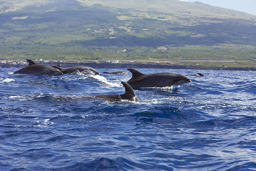 Bottlenose Dolphins, Tursiops truncatus, Azores, Atlantic Ocean, Portugal