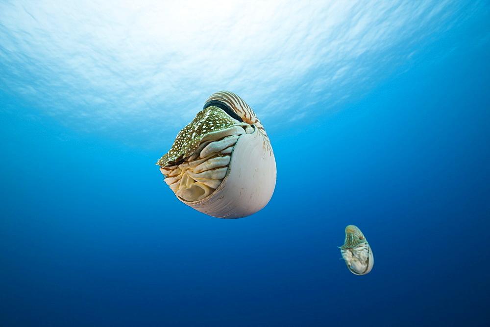 Nautilus, Nautilus pompilius, Great Barrier Reef, Australia