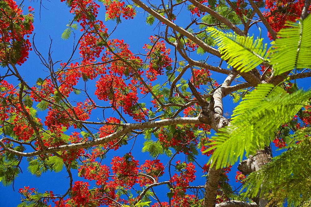Flame Tree against the blue sky, Delonix regia, Havelock, Andaman Islands, India