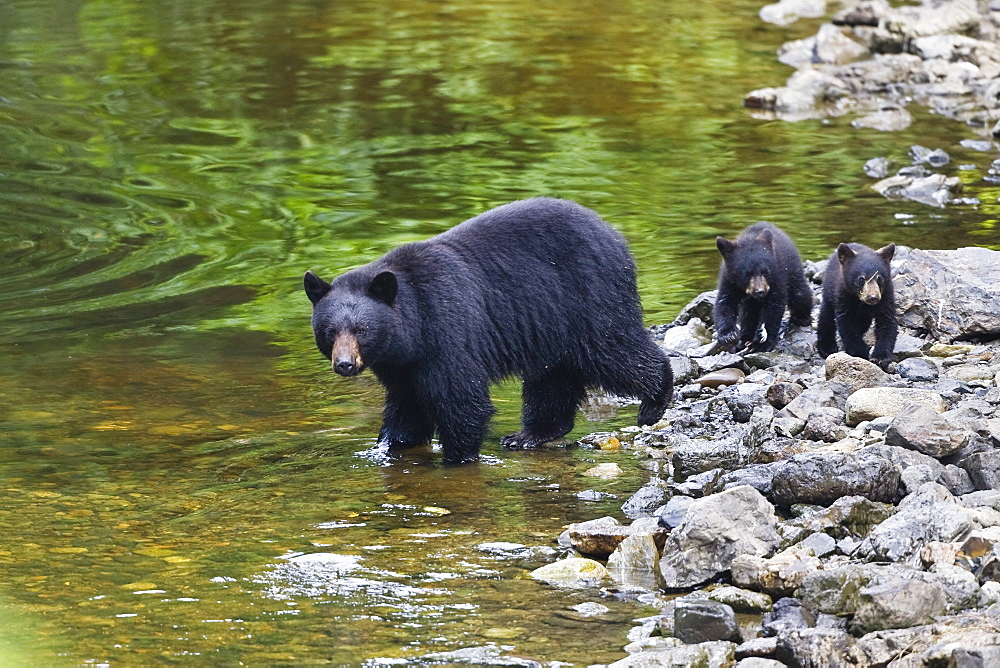 Black Bear female with cubs on the waterfront, Ursus americanus, Alaska, USA