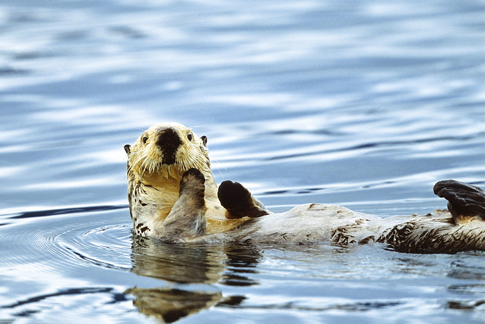 Sea otter swimming on his back, Enhydra lutris, Alaska, USA - 1113-23627