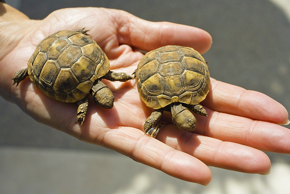 Two little turtles showed on a hand, Croatia, Europe
