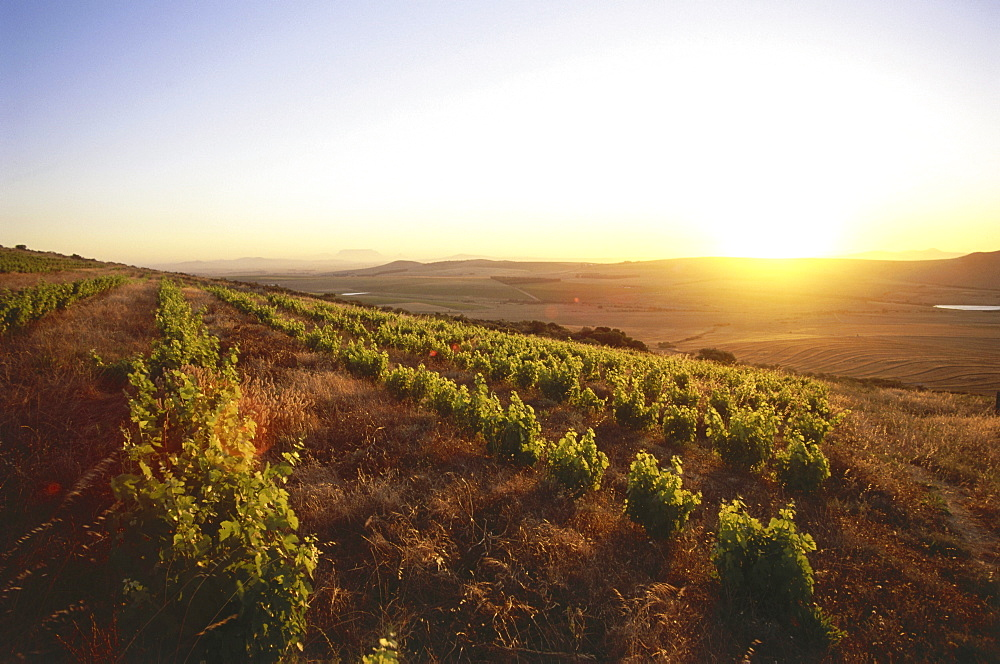 View over vineyards of the Observatory Wine Cellar at sunset, Malmesbury, Swartland, Western Cape, South Africa, Africa - 1113-25058