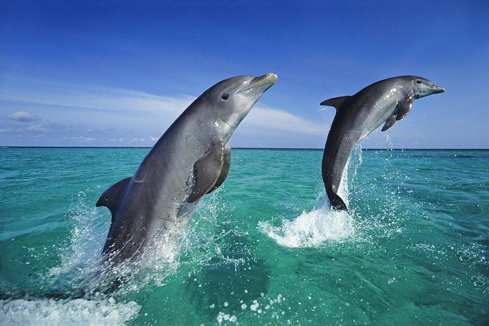 Bottlenosed Dolphins leaping, Tursiops truncatus, Islas de la Bahia, Hunduras, Caribbean