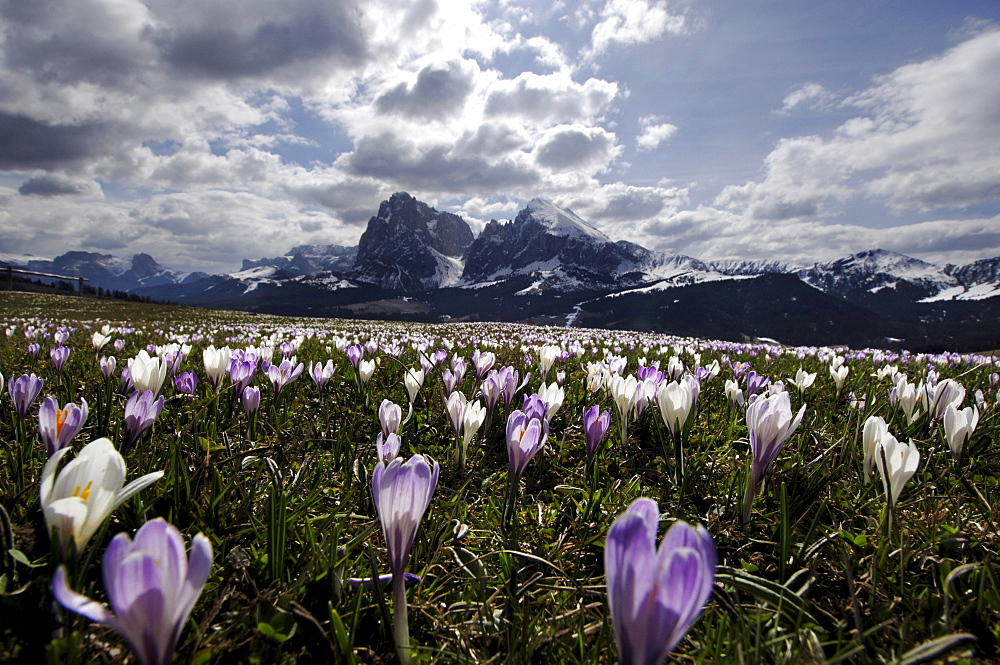 Flower meadow with crocuses under clouded sky, Alpe di Siusi, South Tyrol, Italy, Europe