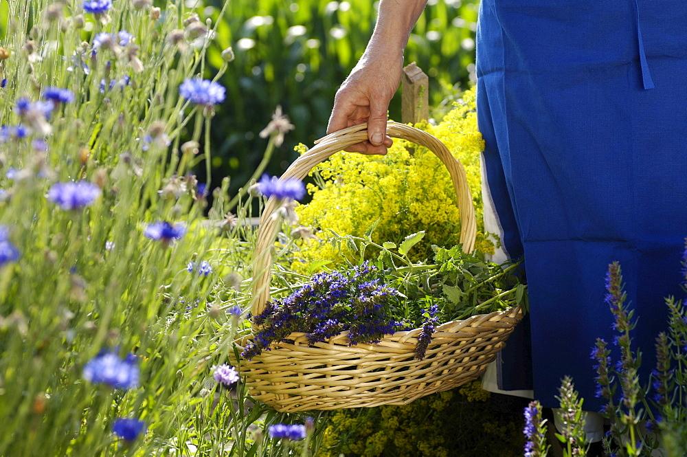 Medicinal herbs, plants, organic farming, South Tyrol, Italy