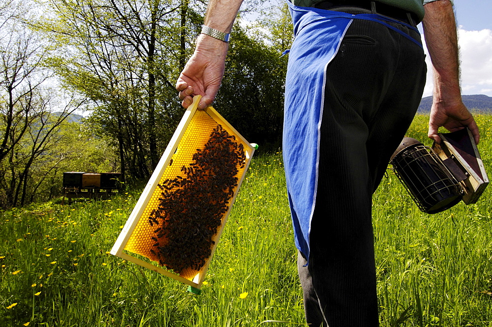 Beekeeper with honeycomb and smoker, Apiarist, Honey bees, South Tyrol, Italy