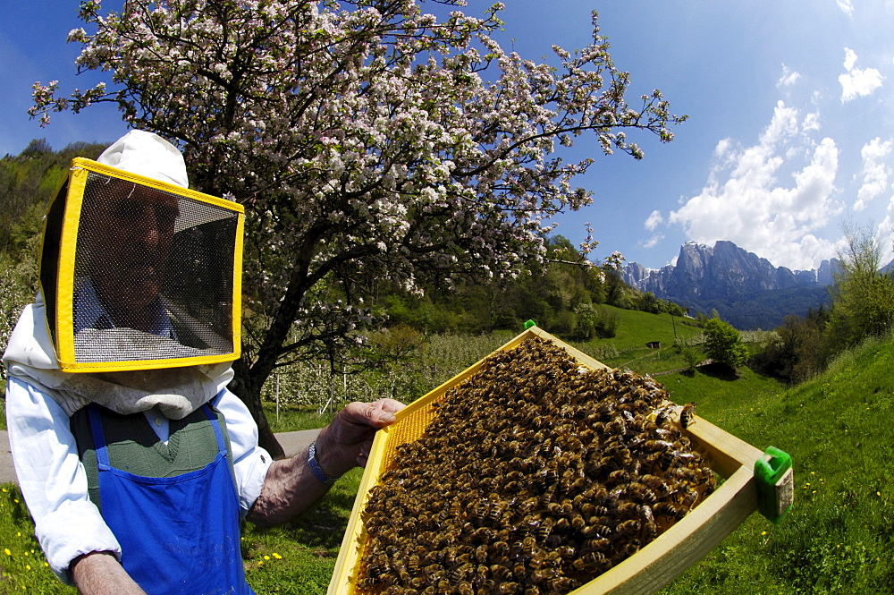 Beekeeper with honeycomb full of bees in front of blooming tree, Sciliar, Valle Isarco, South Tyrol, Italy, Europe