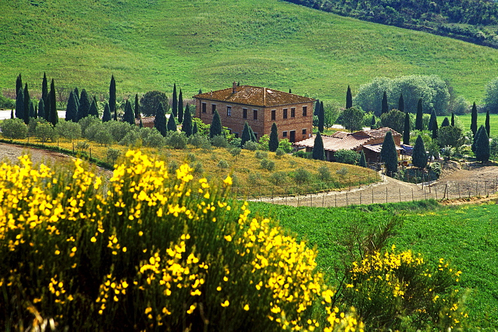 Blooming broom in front of country house, Val d´Orcia, Tuscany, Italy, Europe