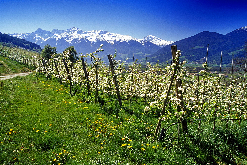 Apple blossom, view to Ortler Alps, Dolomite Alps, South Tyrol, Italy