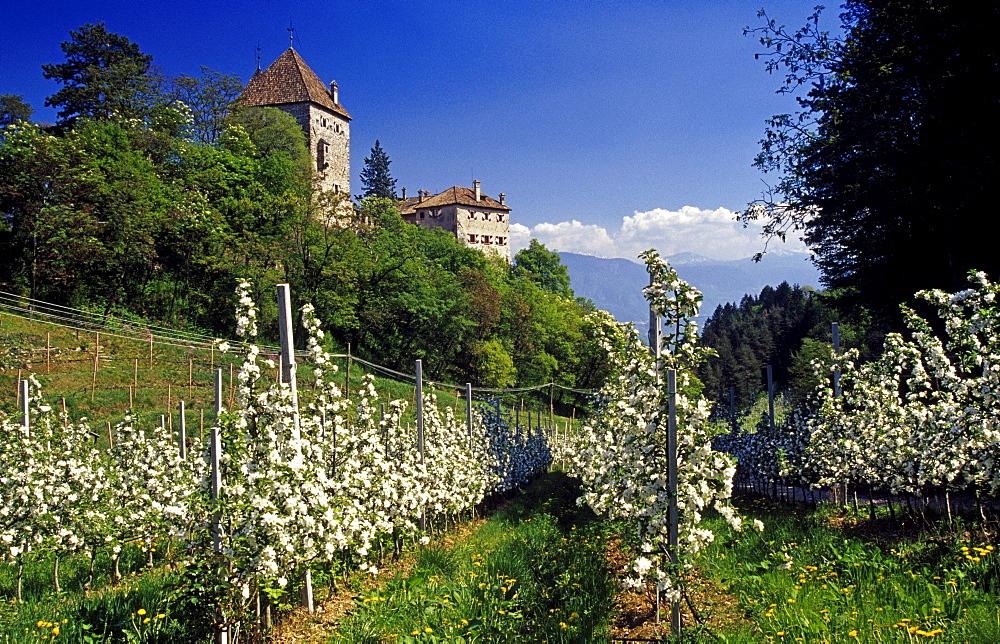Apple blossom, Wehrburg castle, near Prissian, Val d'Adige, Dolomite Alps, South Tyrol, Italy