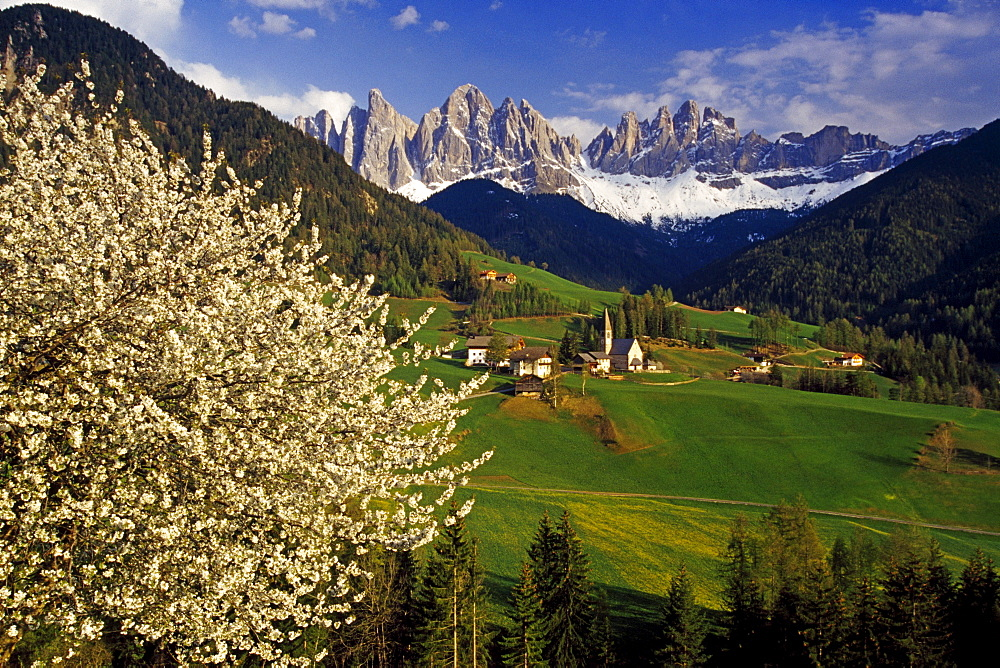 Cherry blossom, Santa Maddalena, view to Le Odle, Val di Funes, Dolomite Alps, South Tyrol, Italy