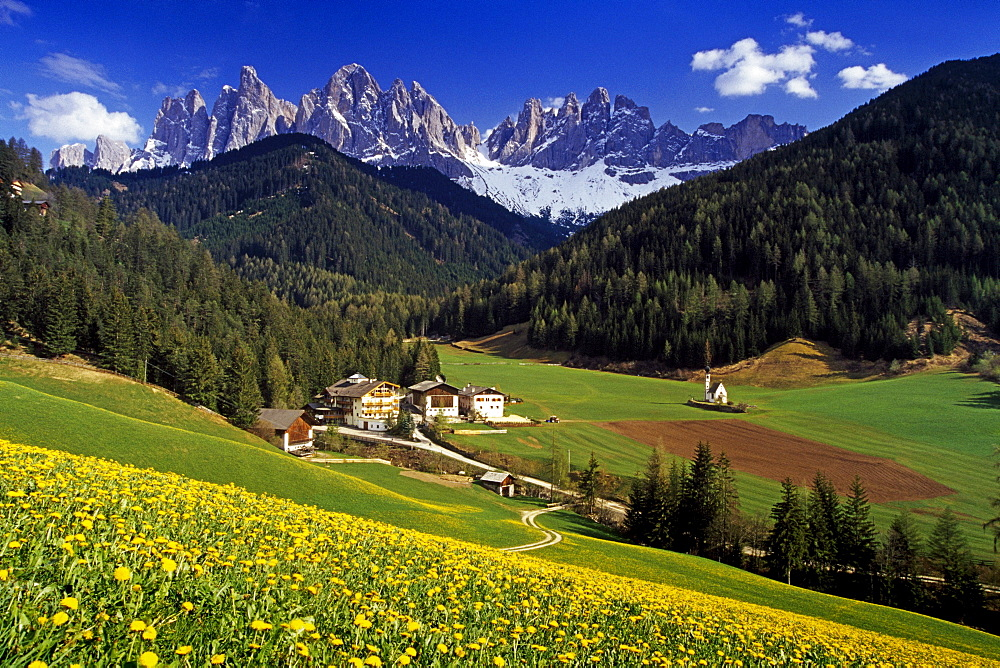 Field full of dandelions, view to Le Odle, Val di Funes, Dolomite Alps, South Tyrol, Italy