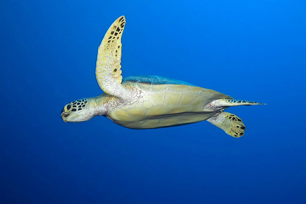Green Turtle, Chelonia mydas, Short Dropoff, Micronesia, Palau