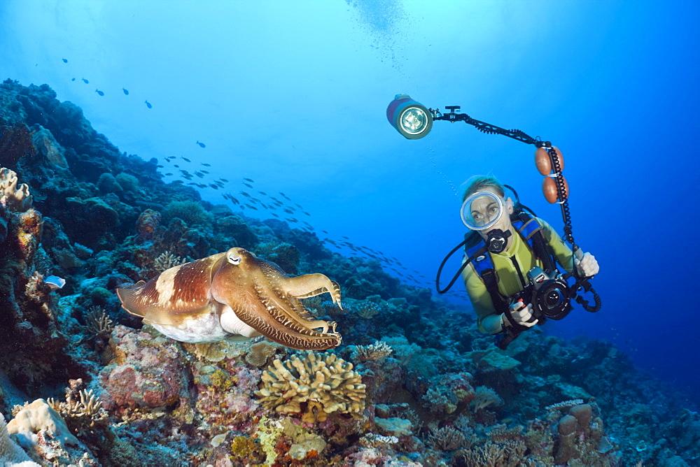 Broadclub Cuttlefish and Diver, Sepia latimanus, Micronesia, Palau