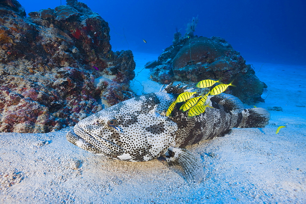 Malabar Grouper and Pilotfishes, Epinephelus malabaricus, Gnathanodon speciosus, Ulong Channel, Micronesia, Palau