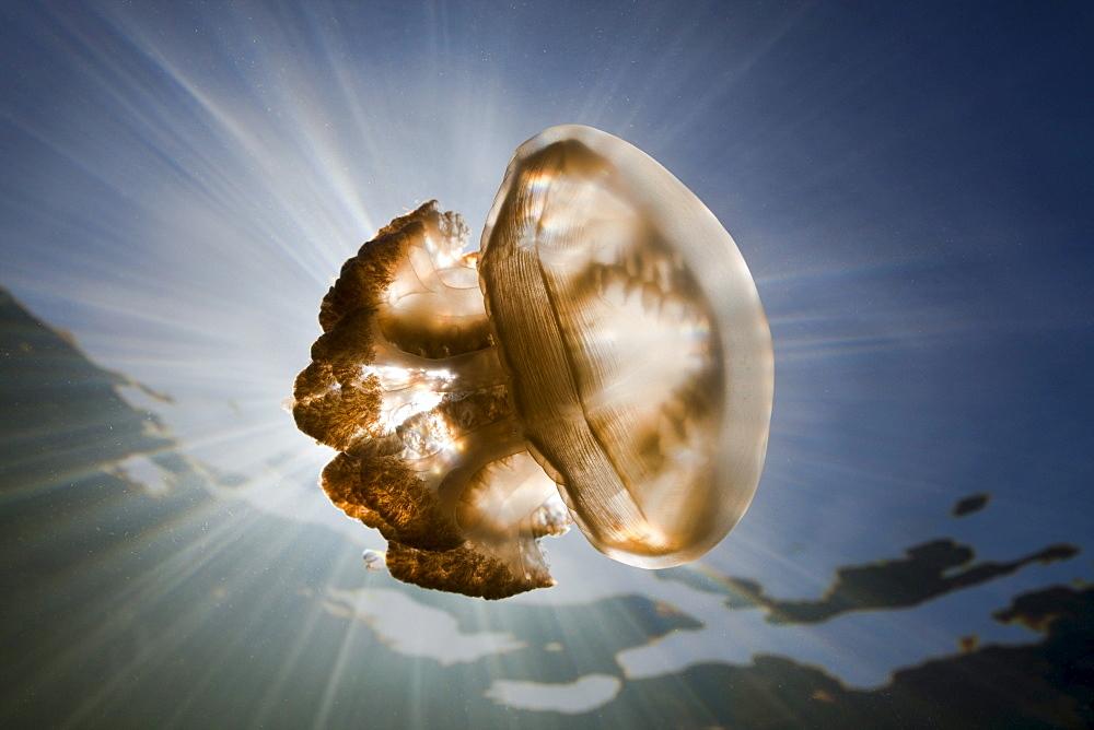 Mastigias Jellyfish, Mastigias papua etpisonii, Jellyfish Lake, Micronesia, Palau
