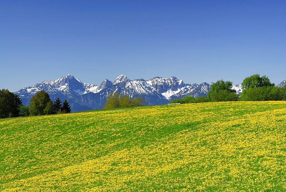 View over meadow with dandelion to Tannheim range, Allgaeu Alps, Allgaeu, Swabia, Bavaria, Germany