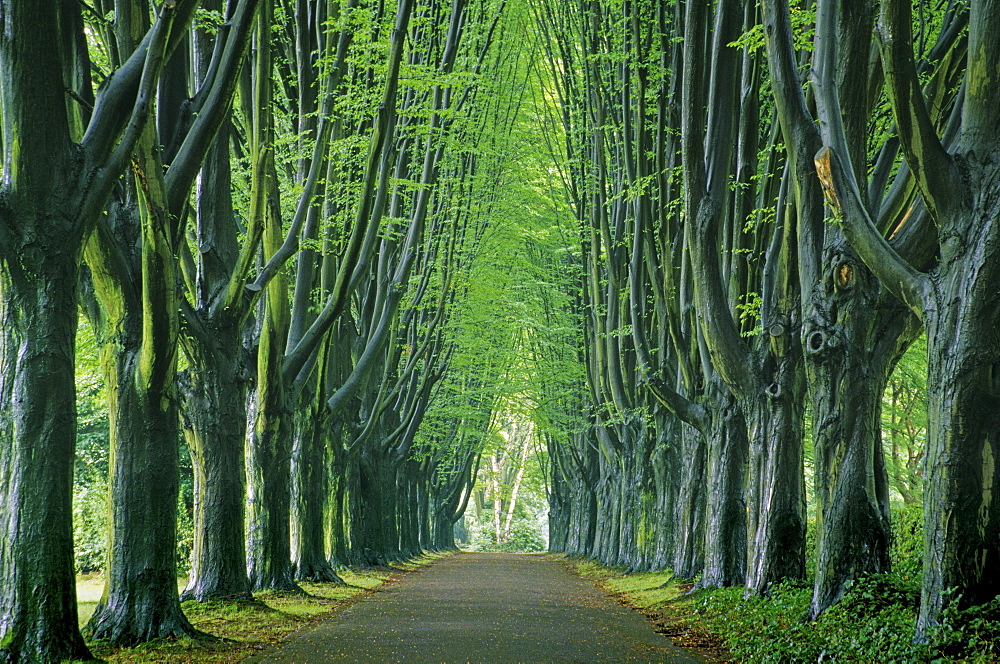 Hornbeam alley at a cemetery, Dortmund, North Rhine-Westphalia, Germany
