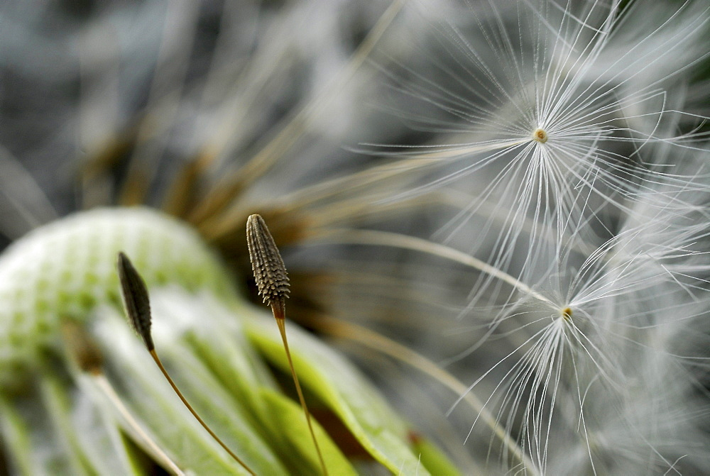 Close up of seeds of a blowball