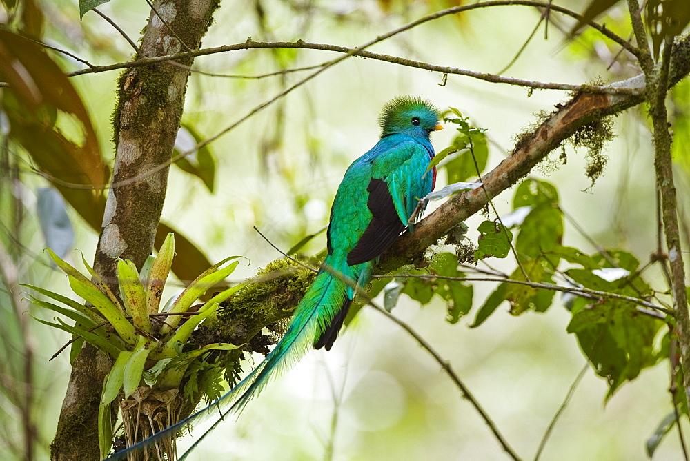 Resplendent Quetzal male, Pharomachrus mocinno costaricensis, Costa Rica