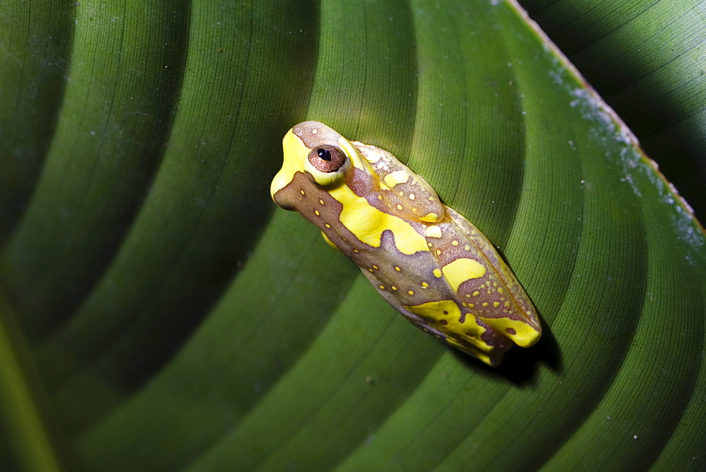 Frog under a heliconia leaf in the rainforest of Tapanti National Park, Costa Rica