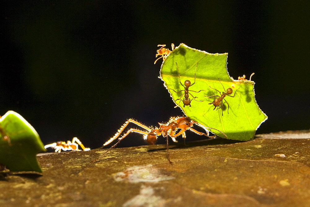 Leafcutter ants carrying pieces of leaves, Atta cephalotes, rainforest, Costa Rica - 1113-32941