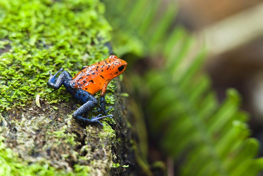 Strawberry Poison Dart Frog, Dendrobates pumilio, rainforest, Costa Rica