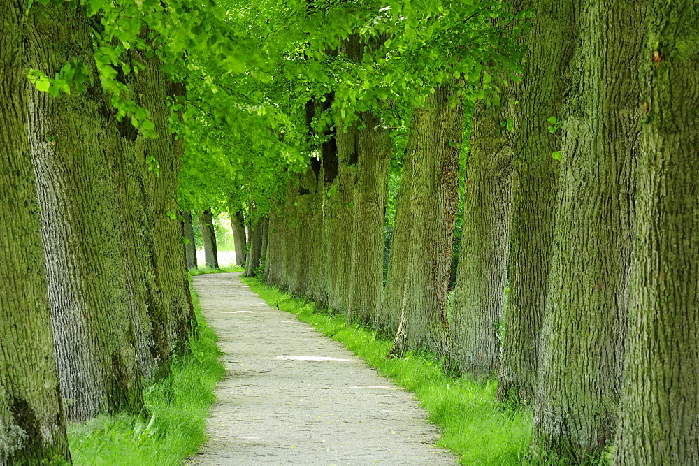 Alley of lime trees, Altmuehltal cycle trail, Altmuehl valley nature park, Altmuehl, Bavaria, Germany
