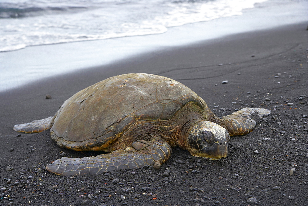 Turtle at Punalu'u Beach Park, Big Island, Hawaii, USA, America