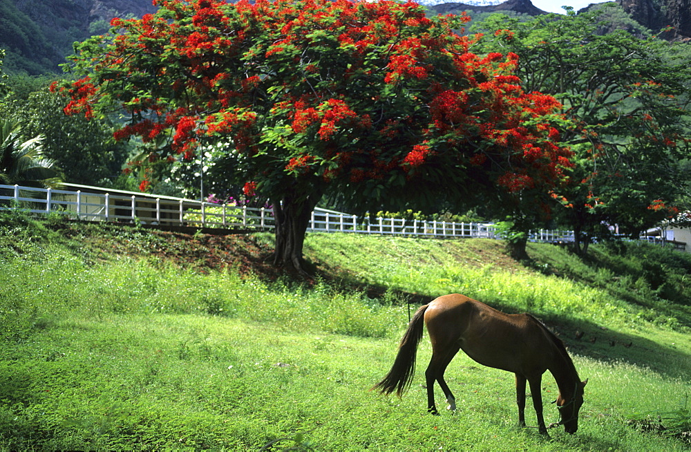 Flame Tree and horse in the town of Taiohae on the island of Nuku Hiva, French Polynesia