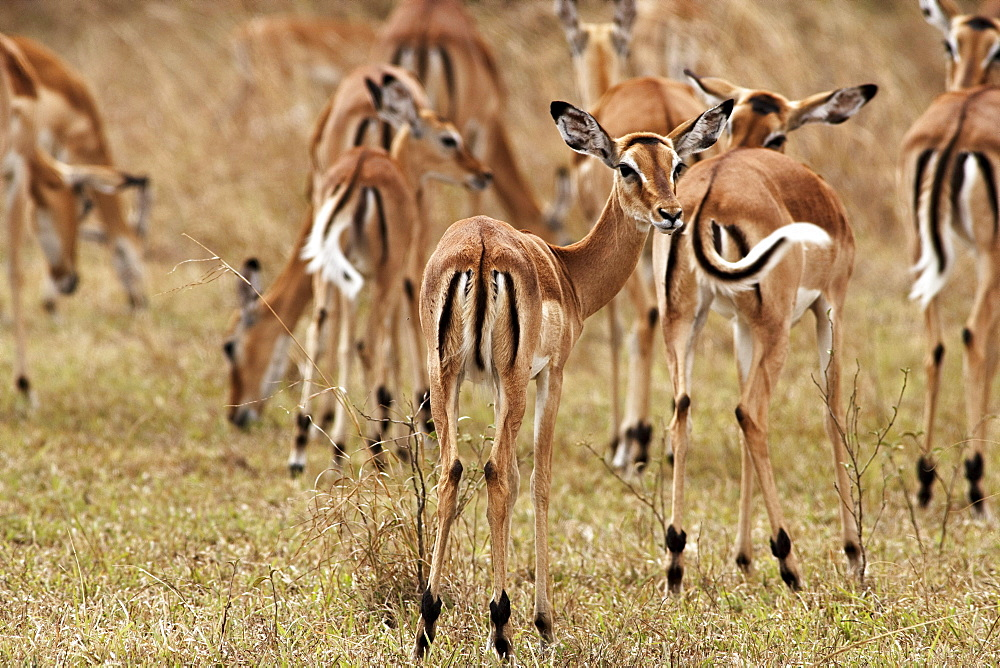 Gazelles in the Serengeti, Tanzania, Afrika