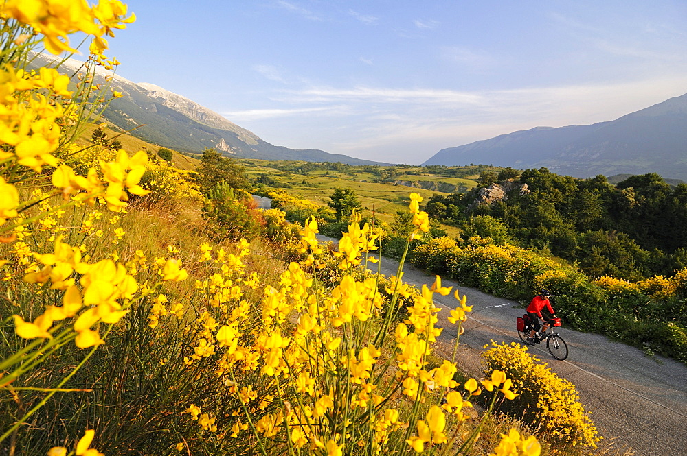 Cyclist between yellow flowers and Monte Amaro, Caramanico Terme, San Eufemia a Maiella, Maiella National Park, Abruzzi, Italy, Europe