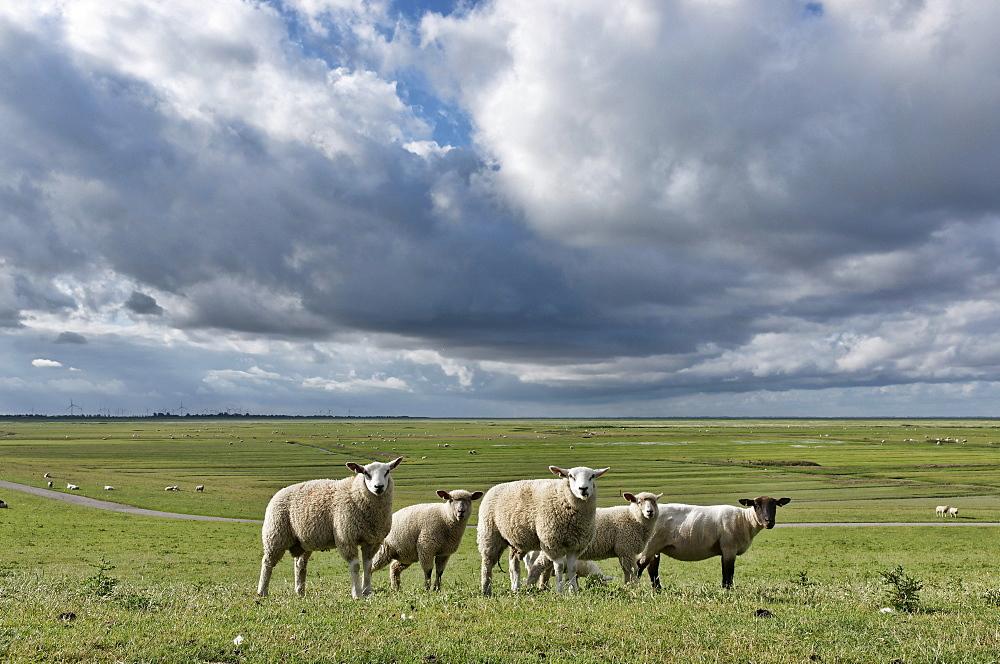 Sheep grazing near the Schleswig-Holstein Wadden Sea National Park, Mudflats, Friedrichskoog, Dithmarschen, Schleswig-Holstein, Germany