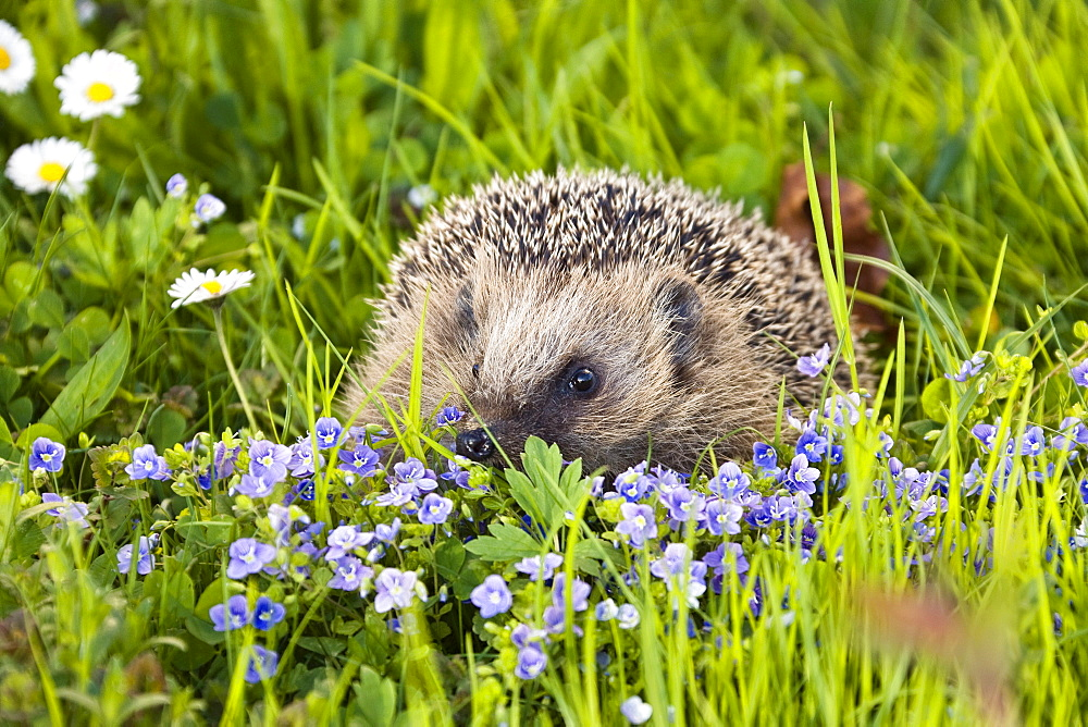 European hedgehog in a meadow in spring, Erinaceus europaeus, Bavaria, Germany, Europe - 1113-43670