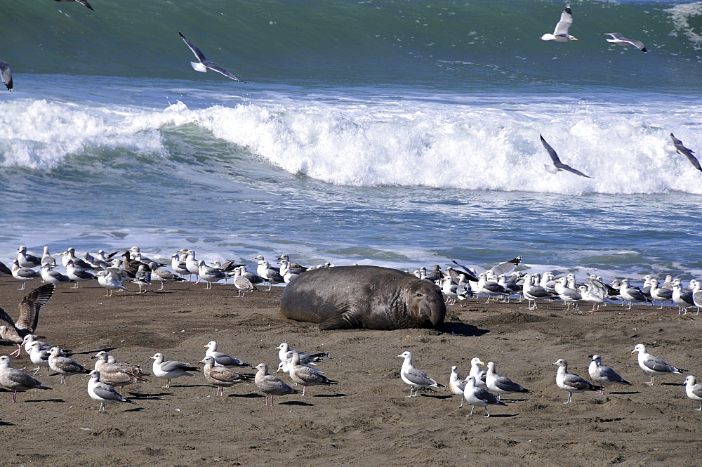 Sealions at Ragged Point at Highwy 1, Pacific rim, California, USA, America