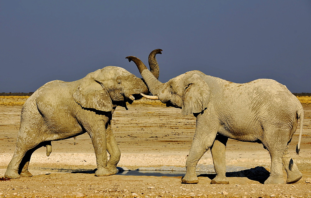 Fighting elephants at Etosha National Park, Namibia, Africa