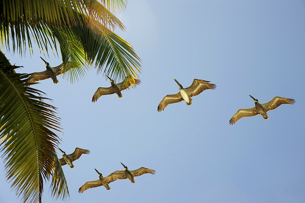 Pelicans flying over a palm tree, Cayo Levisa island, Pinar del Rio province, Cuba, Greater Antilles, Gulf of Mexico, Caribbean, Central America, America