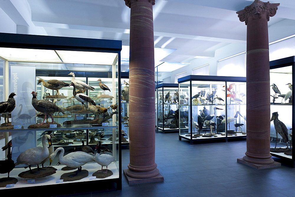 Senckenberg Museum, Anseriformes, Bird Hall with the classic didactic exhibition with the diversity of birds, Frankfurt am Main, Hesse, Germany, Europe