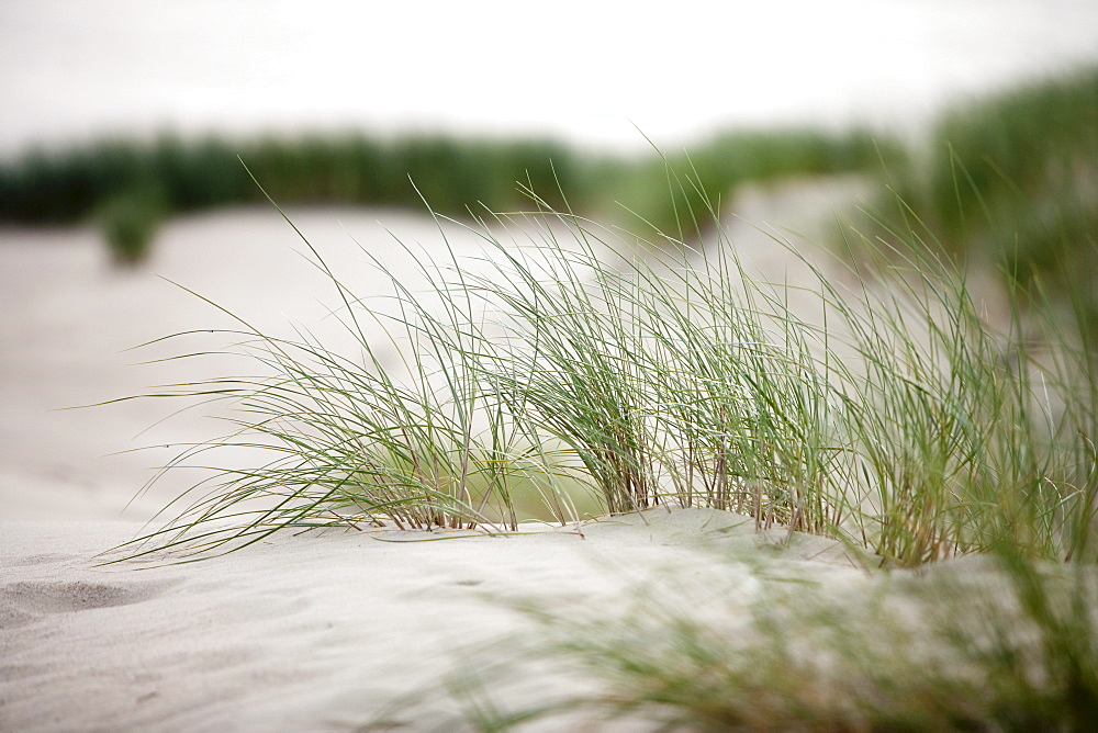 Grasses on sand dune on Curonian Spit, near Klaipeda, Klaipedos, Lithuania