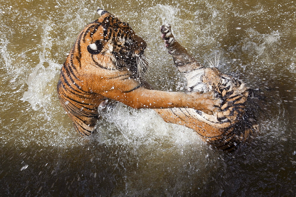 Tigers fight in water at Pha Luang Ta Bua (Temple of the Tigers), near Kanchanaburi, Thailand