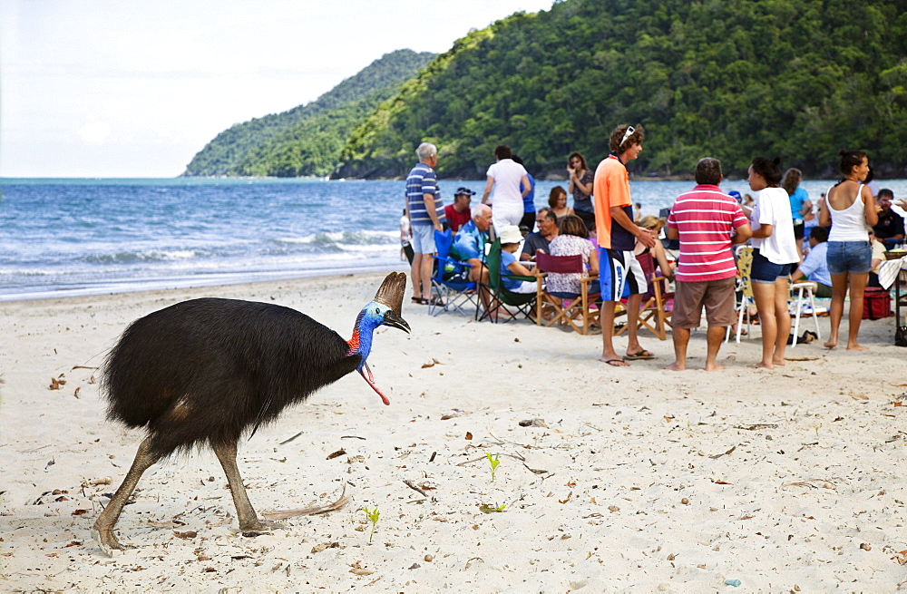 Southern Cassowary female and tourists on the beach, Casuarius casuarius, Moresby Range, Queensland, Australia